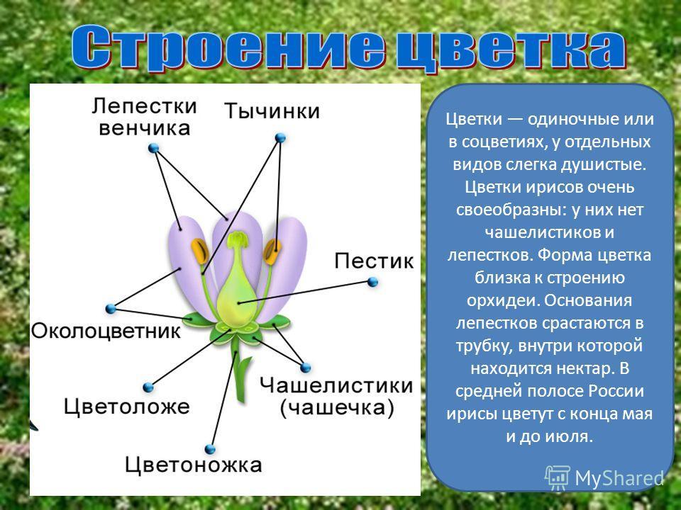 Ирисы встречаются на всех континентах. Род насчитывает около 800 видов с богатейшим разнообразием форм и оттенков Всего насчитывается более 270 дикорастущих видов ириса, из них 58 видов можно встретить в нашей стране.
