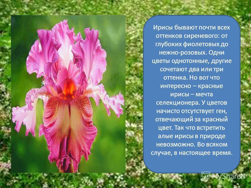 Цветки одиночные или в соцветиях, у отдельных видов слегка душистые. Цветки ирисов очень своеобразны: у них нет чашелистиков и лепестков. Форма цветка близка к строению орхидеи. Основания лепестков срастаются в трубку, внутри которой находится нектар