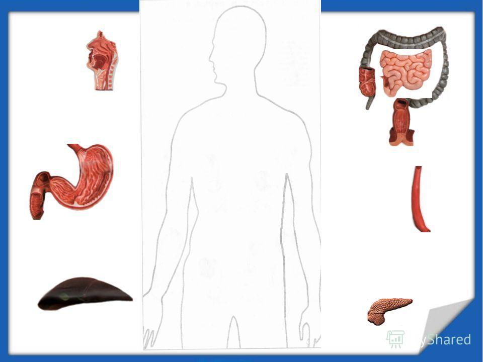 ПИЩЕВАРИТЕЛЬНАЯ СИСТЕМА 1.Как устроена пищеварительная система? 2.Какие функции выполняет каждый орган? 3.Как необходимо питаться человеку, что бы быть здоровым?