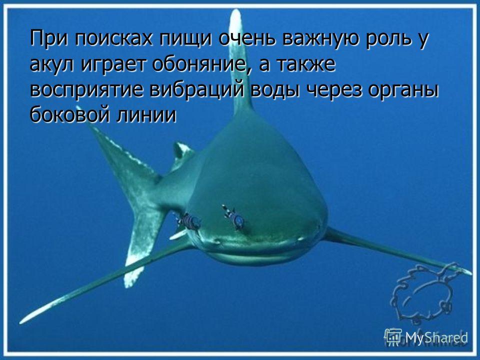 Активность у акул вызывает даже добавление в бассейн воды, в которой предварительно выдерживались напуганные и бьющиеся рыбы.