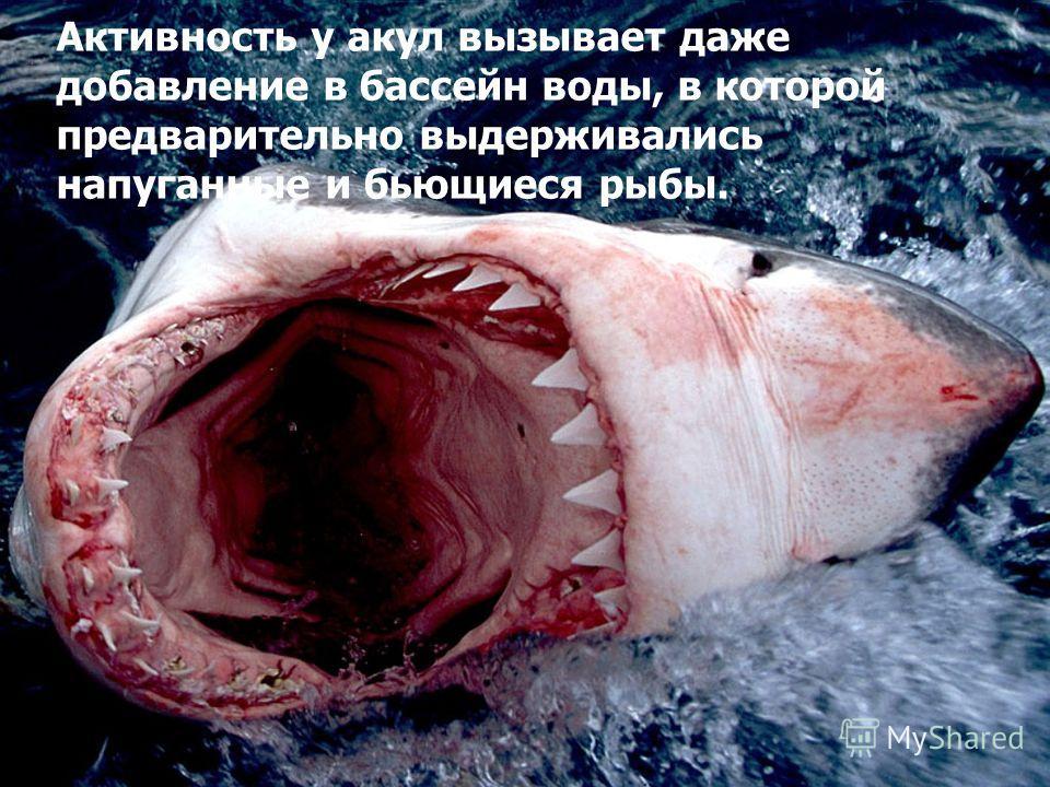 Особенно сильно привлекает акул свежая кровь, даже при внесении ее в самой минимальной концентрации. Очевидно, усиленное поступление в окружающую среду продуктов обмена, выделяемых возбужденной добычей, привлекает акул наряду с непосредственным воспр