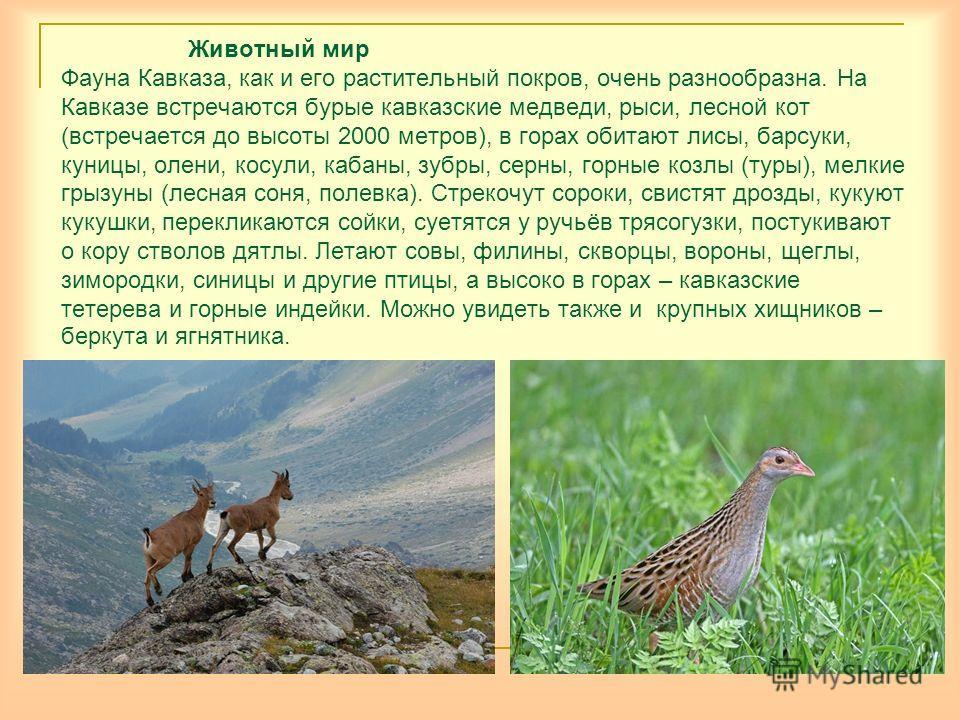 Животный мир Фауна Кавказа, как и его растительный покров, очень разнообразна. На Кавказе встречаются бурые кавказские медведи, рыси, лесной кот (встречается до высоты 2000 метров), в горах обитают лисы, барсуки, куницы, олени, косули, кабаны, зубры,