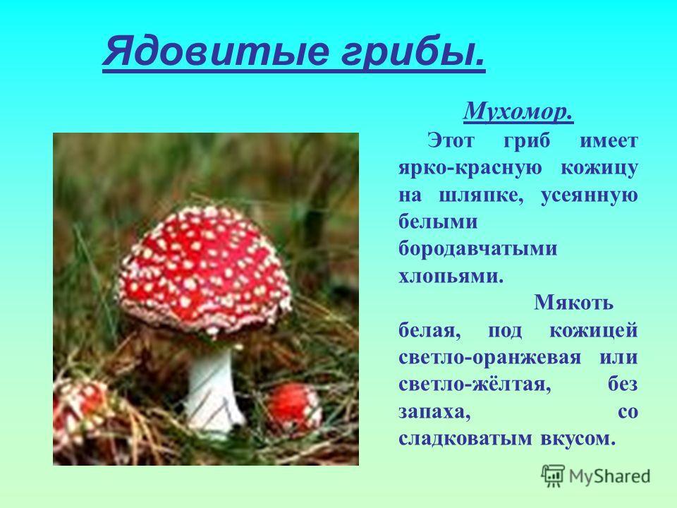 Ядовитые грибы. Мухомор. Этот гриб имеет ярко-красную кожицу на шляпке, усеянную белыми бородавчатыми хлопьями. Мякоть белая, под кожицей светло-оранжевая или светло-жёлтая, без запаха, со сладковатым вкусом.