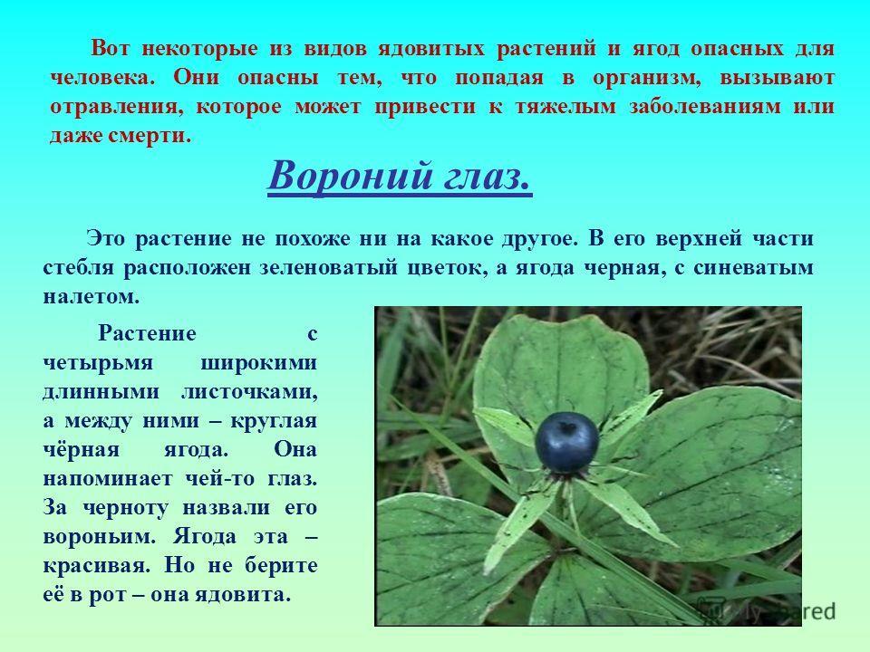 Вот некоторые из видов ядовитых растений и ягод опасных для человека. Они опасны тем, что попадая в организм, вызывают отравления, которое может привести к тяжелым заболеваниям или даже смерти. Вороний глаз. Это растение не похоже ни на какое другое.