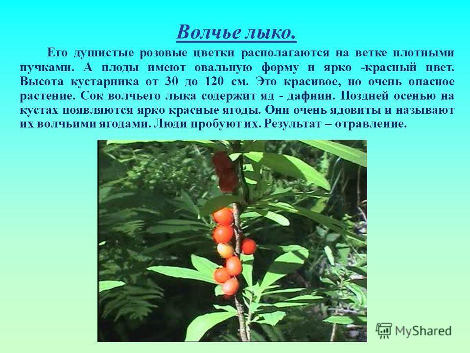 Волчье лыко. Его душистые розовые цветки располагаются на ветке плотными пучками. А плоды имеют овальную форму и ярко -красный цвет. Высота кустарника от 30 до 120 см. Это красивое, но очень опасное растение. Сок волчьего лыка содержит яд - дафнин. П