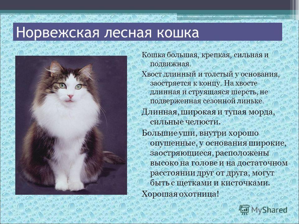 Кошка большая, крепкая, сильная и подвижная. Хвост длинный и толстый у основания, заостряется к концу. На хвосте длинная и струящаяся шерсть, не подверженная сезонной линьке. Длинная, широкая и тупая морда, сильные челюсти. Большие уши, внутри хорошо
