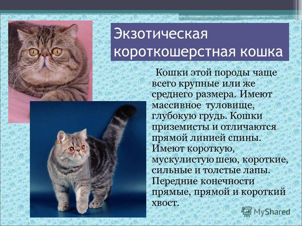 Кошки этой породы чаще всего крупные или же среднего размера. Имеют массивное туловище, глубокую грудь. Кошки приземисты и отличаются прямой линией спины. Имеют короткую, мускулистую шею, короткие, сильные и толстые лапы. Передние конечности прямые,