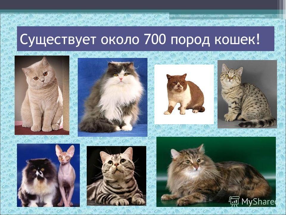 Существует около 700 пород кошек!