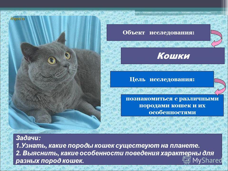 Объект исследования: Кошки Цель исследования: познакомиться с различными породами кошек и их особенностями Задачи: 1.Узнать, какие породы кошек существуют на планете. 2. Выяснить, какие особенности поведения характерны для разных пород кошек.