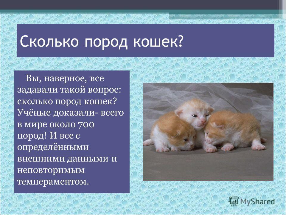 Сколько пород кошек? Вы, наверное, все задавали такой вопрос: сколько пород кошек? Учёные доказали- всего в мире около 700 пород! И все с определёнными внешними данными и неповторимым темпераментом.