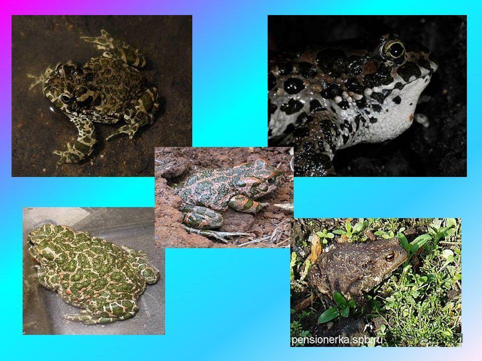 Жаба зелёная Жабы – самые крупные бесхвостые земноводные животные в нашей стране. Имеют плотное телосложение, короткие конечности и толстую бугорчатую кожу, по которой разбросаны одиночные ядовитые железы. Спина оливкового цвета с крупными зелёными п