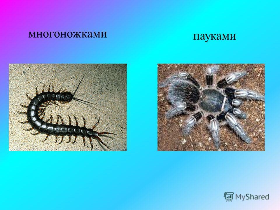 Питается -насекомыми и их личинками;