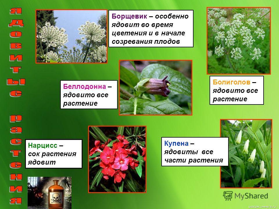 Вороний глаз – ядовито все растение, особенно плоды. Вех ядовитый – наиболее ядовиты корневище и молодая зелень. Зелень имеет приятный запах петрушки, можно спутать. Паслен черный – все растение, кроме зрелых черных ягод ядовито Воронец колосистый –