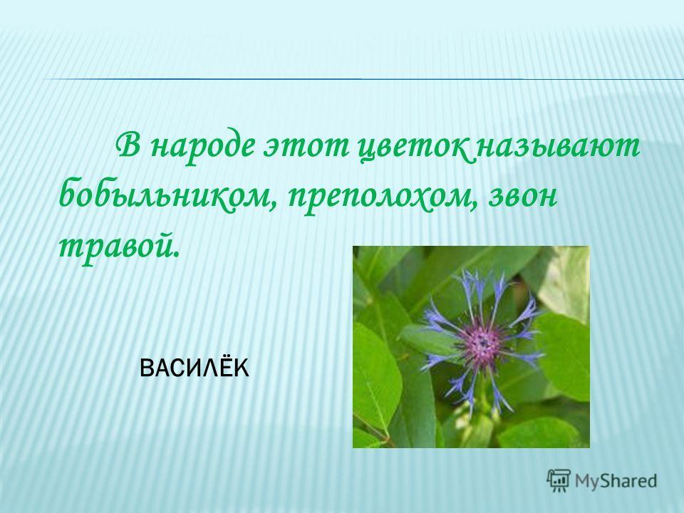 В народе этот цветок называют бобыльником, преполохом, звон травой. ВАСИЛЁК