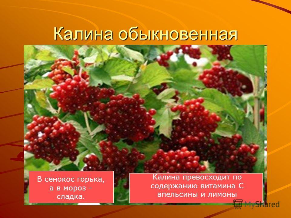 Калина обыкновенная Калина превосходит по содержанию витамина С апельсины и лимоны В сенокос горька, А в мороз сладка. Что за ягодка? В сенокос горька, а в мороз – сладка.