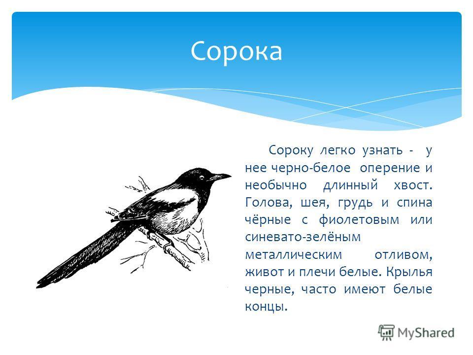 Сорока Сороку легко узнать - у нее черно-белое оперение и необычно длинный хвост. Голова, шея, грудь и спина чёрные с фиолетовым или синевато-зелёным металлическим отливом, живот и плечи белые. Крылья черные, часто имеют белые концы.