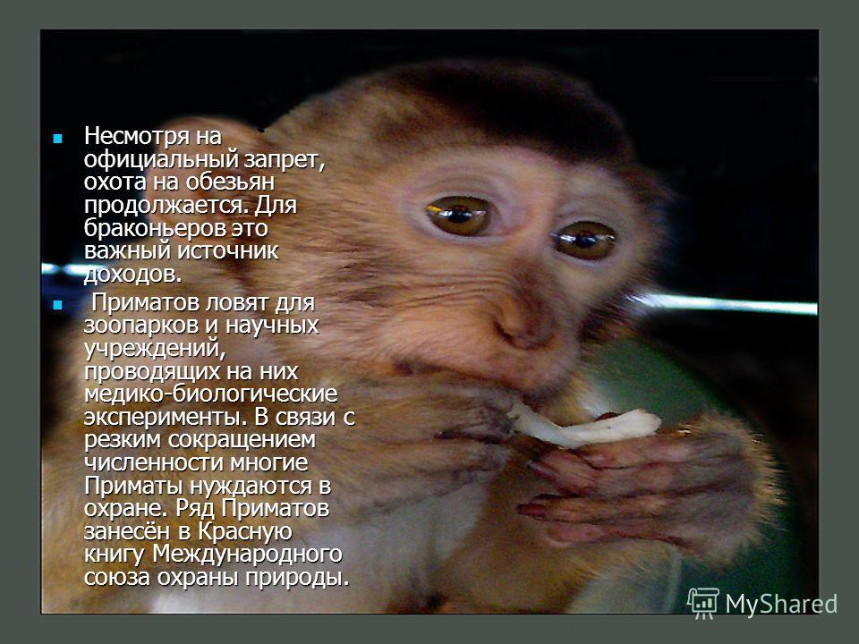 Несмотря на официальный запрет, охота на обезьян продолжается. Для браконьеров это важный источник доходов. Несмотря на официальный запрет, охота на обезьян продолжается. Для браконьеров это важный источник доходов. Приматов ловят для зоопарков и нау