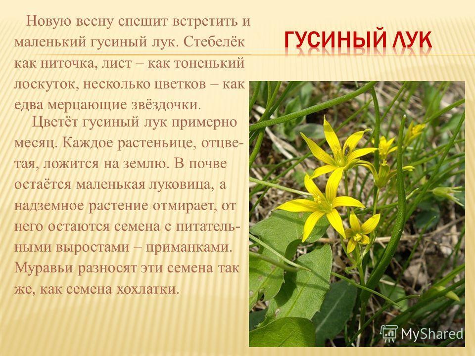 Новую весну спешит встретить и маленький гусиный лук. Стебелёк как ниточка, лист – как тоненький лоскуток, несколько цветков – как едва мерцающие звёздочки. Цветёт гусиный лук примерно месяц. Каждое растеньице, отцве- тая, ложится на землю. В почве о