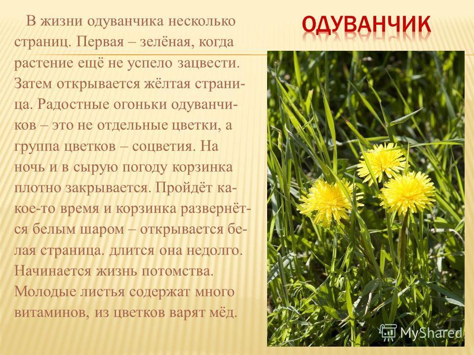 В жизни одуванчика несколько страниц. Первая – зелёная, когда растение ещё не успело зацвести. Затем открывается жёлтая страни- ца. Радостные огоньки одуванчи- ков – это не отдельные цветки, а группа цветков – соцветия. На ночь и в сырую погоду корзи