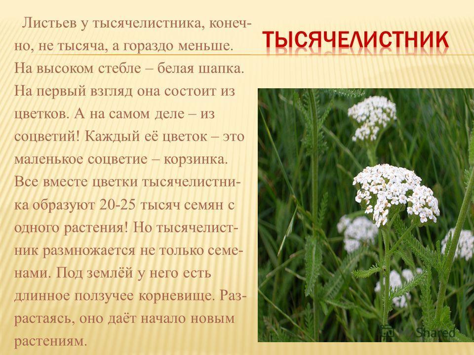 Листьев у тысячелистника, конеч- но, не тысяча, а гораздо меньше. На высоком стебле – белая шапка. На первый взгляд она состоит из цветков. А на самом деле – из соцветий! Каждый её цветок – это маленькое соцветие – корзинка. Все вместе цветки тысячел