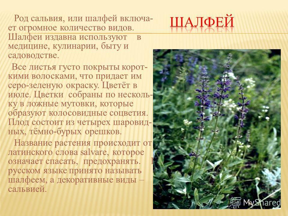 Род сальвия, или шалфей включа- ет огромное количество видов. Шалфеи издавна используют в медицине, кулинарии, быту и садоводстве. Все листья густо покрыты корот- кими волосками, что придает им серо-зеленую окраску. Цветёт в июле. Цветки собраны по н