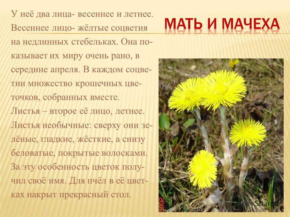 У неё два лица- весеннее и летнее. Весеннее лицо- жёлтые соцветия на недлинных стебельках. Она по- казывает их миру очень рано, в середине апреля. В каждом соцве- тии множество крошечных цве- точков, собранных вместе. Листья – второе её лицо, летнее.