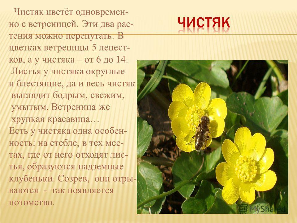 Чистяк цветёт одновремен- но с ветреницей. Эти два рас- тения можно перепутать. В цветках ветреницы 5 лепест- ков, а у чистяка – от 6 до 14. Листья у чистяка округлые и блестящие, да и весь чистяк выглядит бодрым, свежим, умытым. Ветреница же хрупкая
