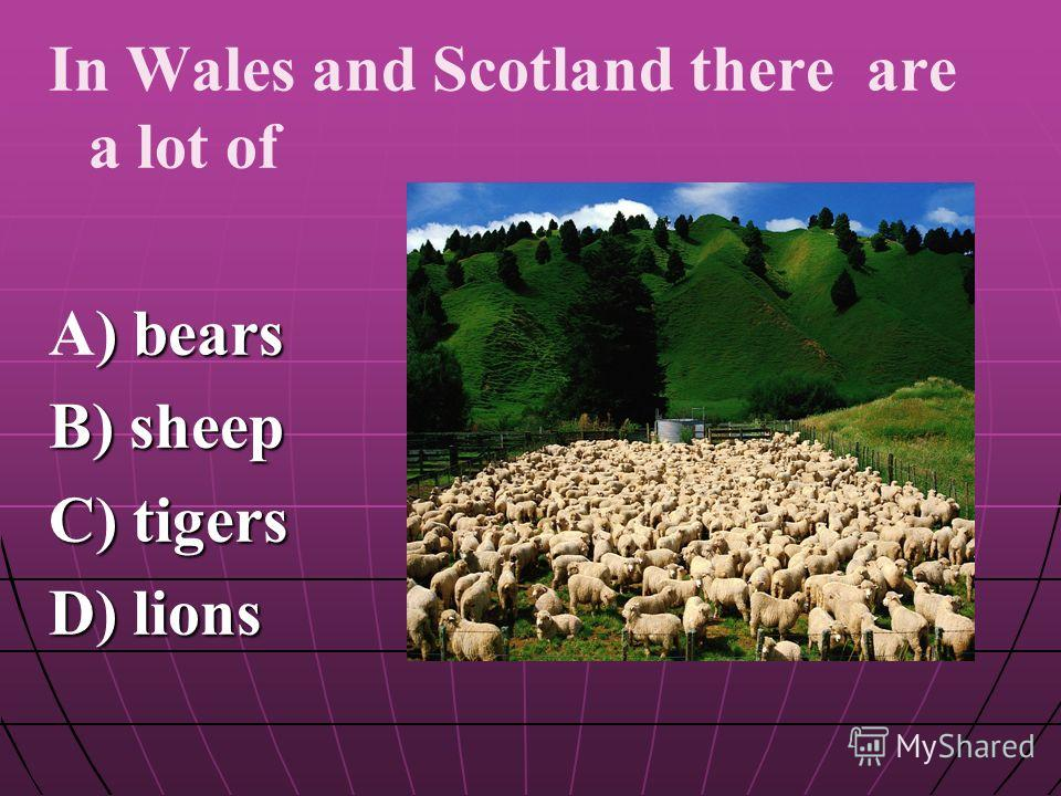 In Wales and Scotland there are a lot of A) bears B) sheep C) tigers D) lions