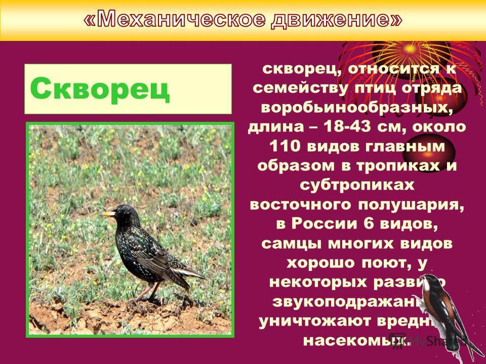 Скворец скворец, относится к семейству птиц отряда воробьинообразных, длина – 18-43 см, около 110 видов главным образом в тропиках и субтропиках восточного полушария, в России 6 видов, самцы многих видов хорошо поют, у некоторых развито звукоподражан