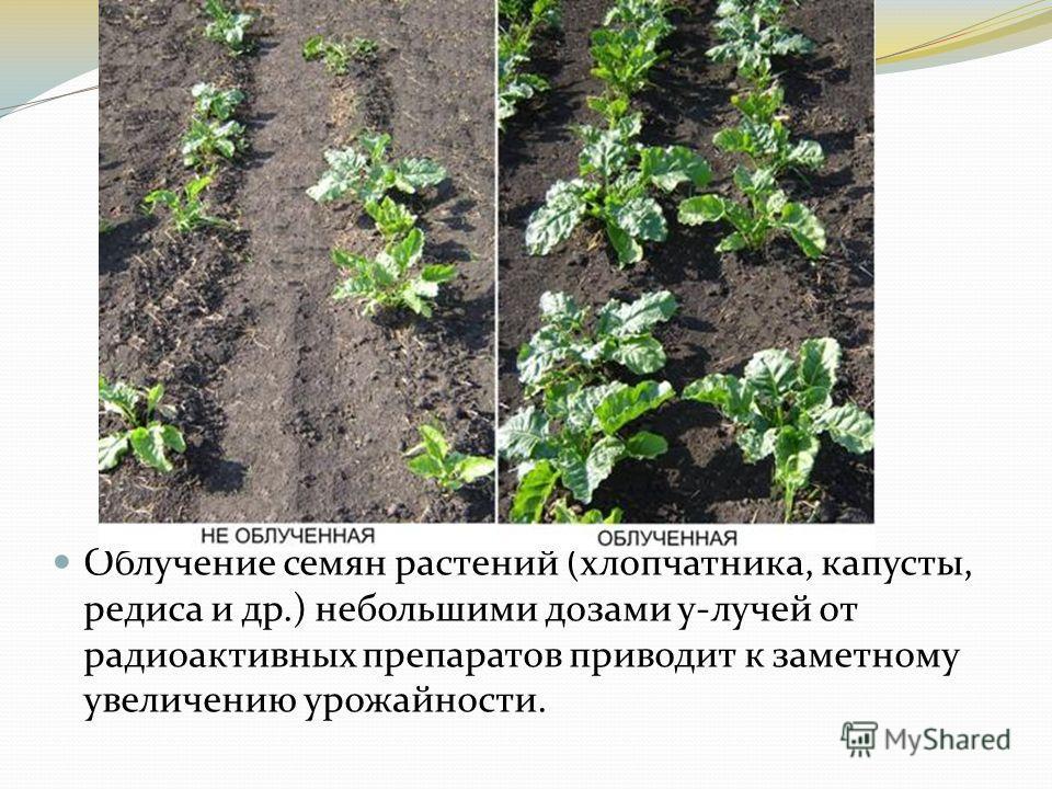 Облучение семян растений (хлопчатника, капусты, редиса и др.) небольшими дозами y-лучей от радиоактивных препаратов приводит к заметному увеличению урожайности.