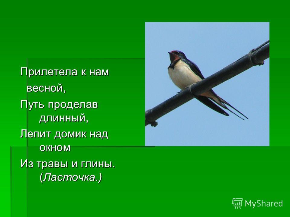 Прилетела к нам весной, весной, Путь проделав длинный, Лепит домик над окном Из травы и глины. (Ласточка.) Эта птица умеет ловить мух на лету. (Мухоловка.)