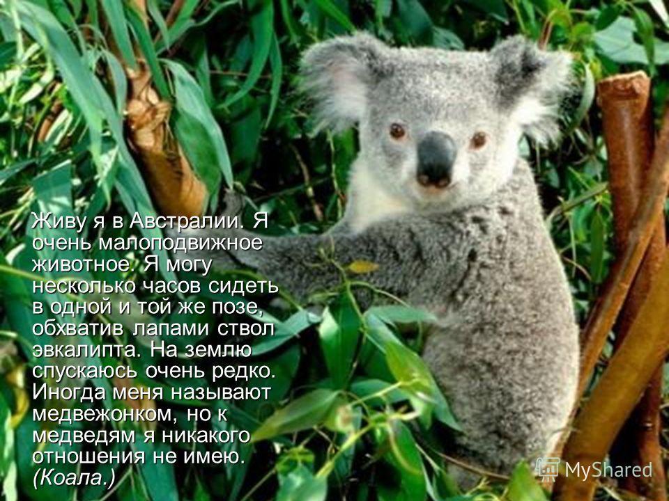 Живу я в Австралии. Я очень малоподвижное животное. Я могу несколько часов сидеть в одной и той же позе, обхватив лапами ствол эвкалипта. На землю спускаюсь очень редко. Иногда меня называют медвежонком, но к медведям я никакого отношения не имею. (К