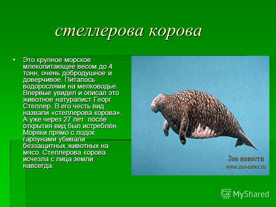 стеллерова корова стеллерова корова Это крупное морское млекопитающее весом до 4 тонн, очень добродушное и доверчивое. Питалось водорослями на мелководье. Впервые увидел и описал это животное натуралист Георг Стеллер. В его честь вид назвали «стеллер