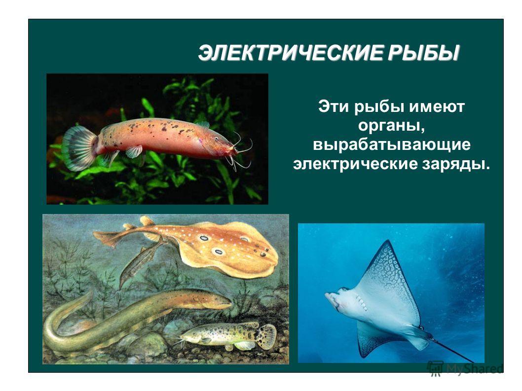 ЭЛЕКТРИЧЕСКИЕ РЫБЫ Эти рыбы имеют органы, вырабатывающие электрические заряды.