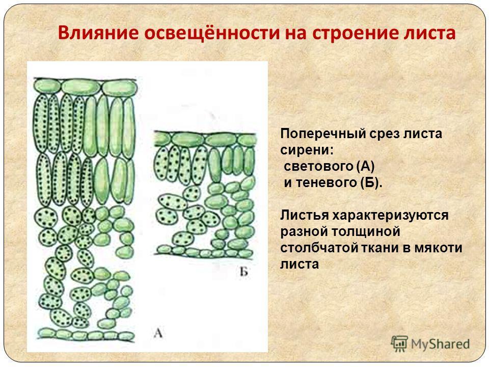 Влияние освещённости на строение листа Поперечный срез листа сирени: светового (А) и теневого (Б). Листья характеризуются разной толщиной столбчатой ткани в мякоти листа