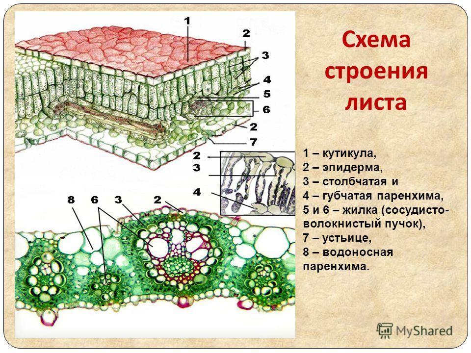 Схема строения листа 1 – кутикула, 2 – эпидерма, 3 – столбчатая и 4 – губчатая паренхима, 5 и 6 – жилка (сосудисто- волокнистый пучок), 7 – устьице, 8 – водоносная паренхима.