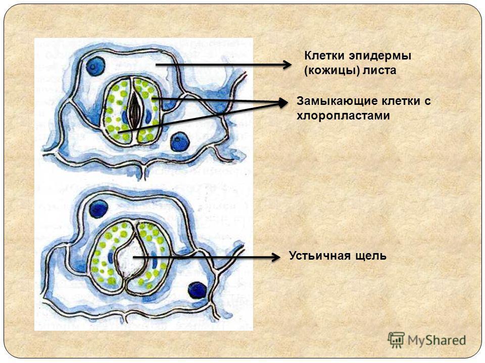 Клетки эпидермы (кожицы) листа