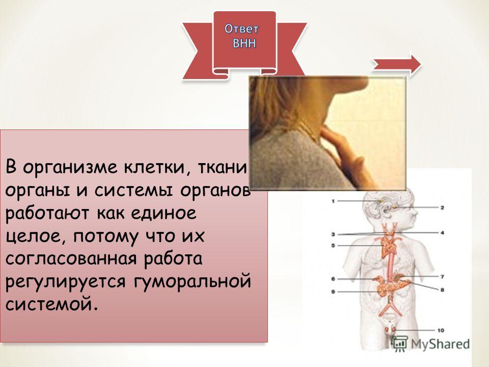 В организме клетки, ткани, органы и системы органов работают как единое целое, потому что их согласованная работа регулируется гуморальной системой.