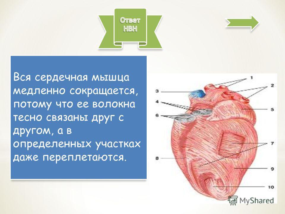 Вся сердечная мышца медленно сокращается, потому что ее волокна тесно связаны друг с другом, а в определенных участках даже переплетаются.
