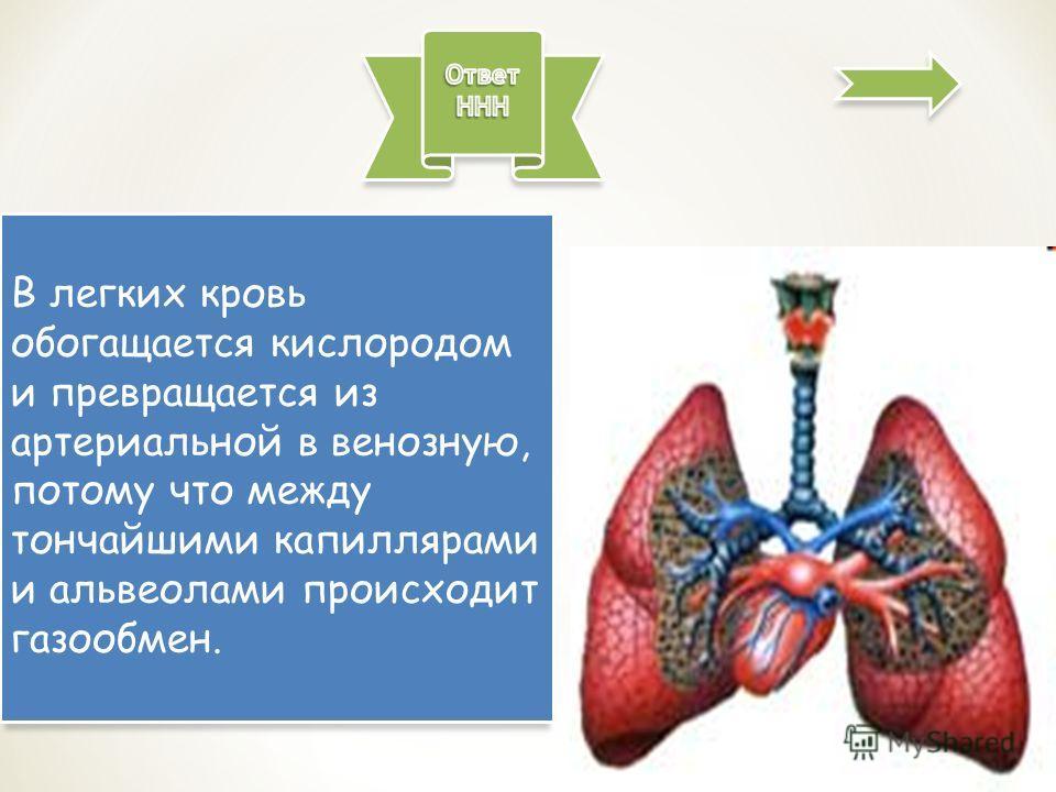В легких кровь обогащается кислородом и превращается из артериальной в венозную, потому что между тончайшими капиллярами и альвеолами происходит газообмен.