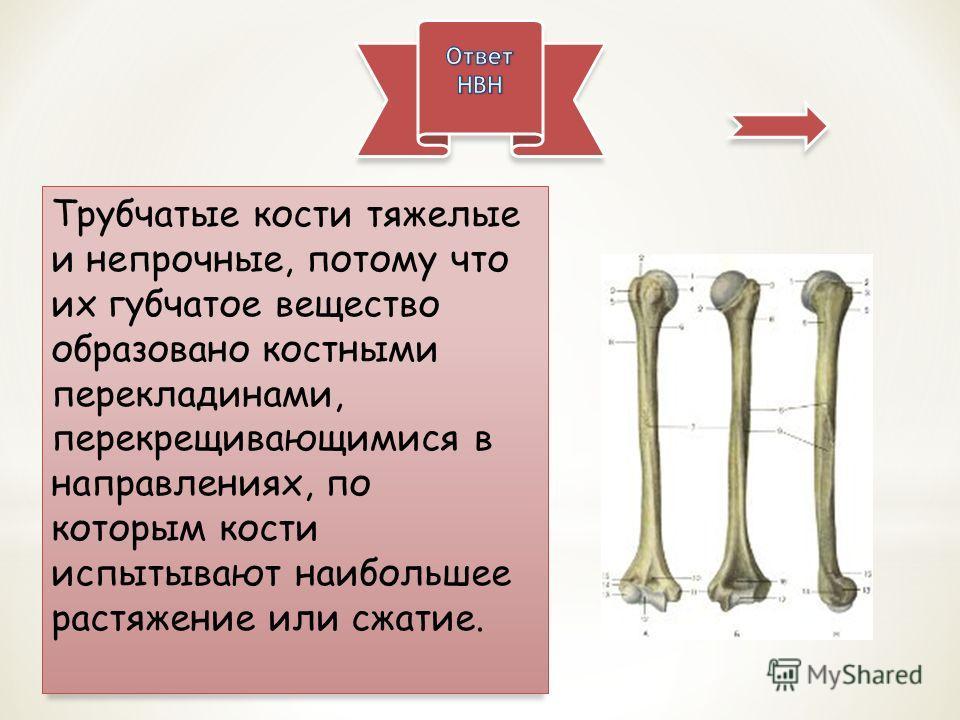Трубчатые кости тяжелые и непрочные, потому что их губчатое вещество образовано костными перекладинами, перекрещивающимися в направлениях, по которым кости испытывают наибольшее растяжение или сжатие.
