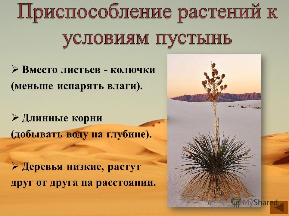 Вместо листьев - колючки (меньше испарять влаги). Длинные корни (добывать воду на глубине). Деревья низкие, растут друг от друга на расстоянии.
