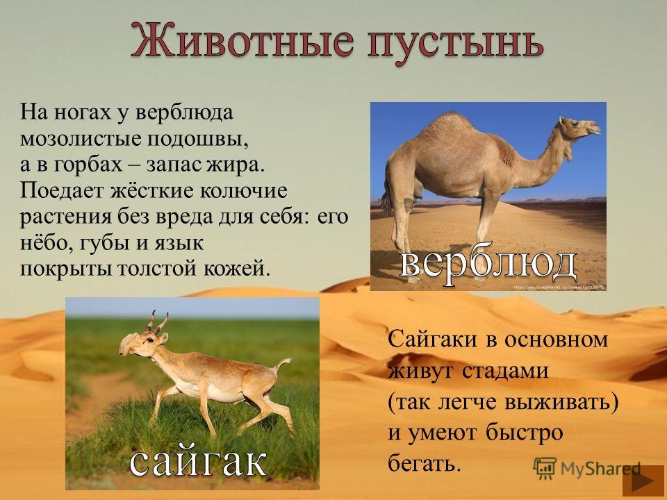 На ногах у верблюда мозолистые подошвы, а в горбах – запас жира. Поедает жёсткие колючие растения без вреда для себя: его нёбо, губы и язык покрыты толстой кожей. Сайгаки в основном живут стадами (так легче выживать) и умеют быстро бегать.