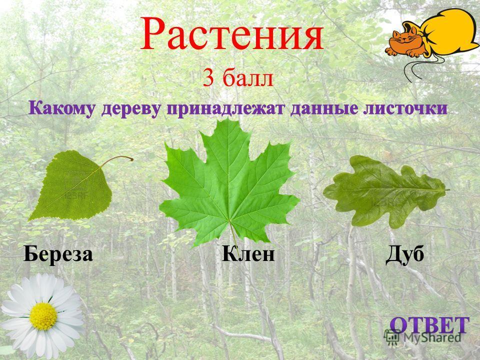 Растения 3 балл Береза Клен Дуб