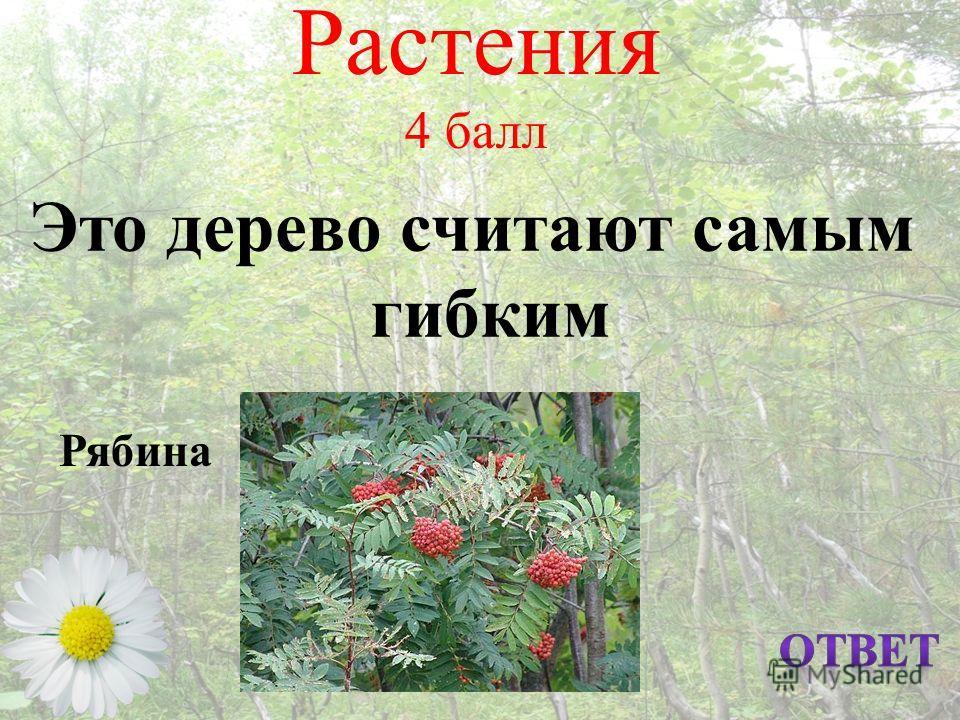 Растения 4 балл Это дерево считают самым гибким Рябина
