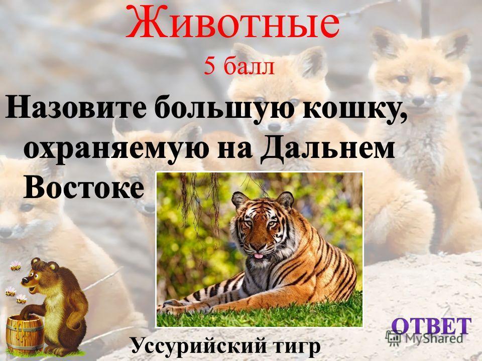 Животные 5 балл Уссурийский тигр