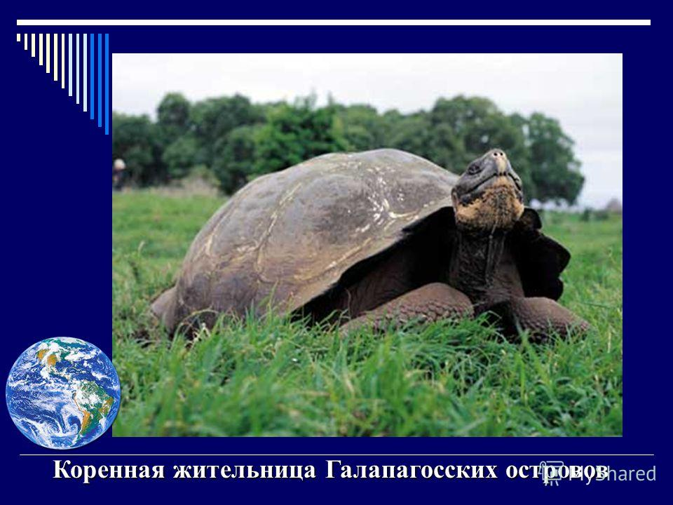 Галапагосские острова Открыты в 16 в. испанскими мореплавателями, которые обнаружили там гигантских черепах. Открыты в 16 в. испанскими мореплавателями, которые обнаружили там гигантских черепах. Это и определило название островов. Это и определило н