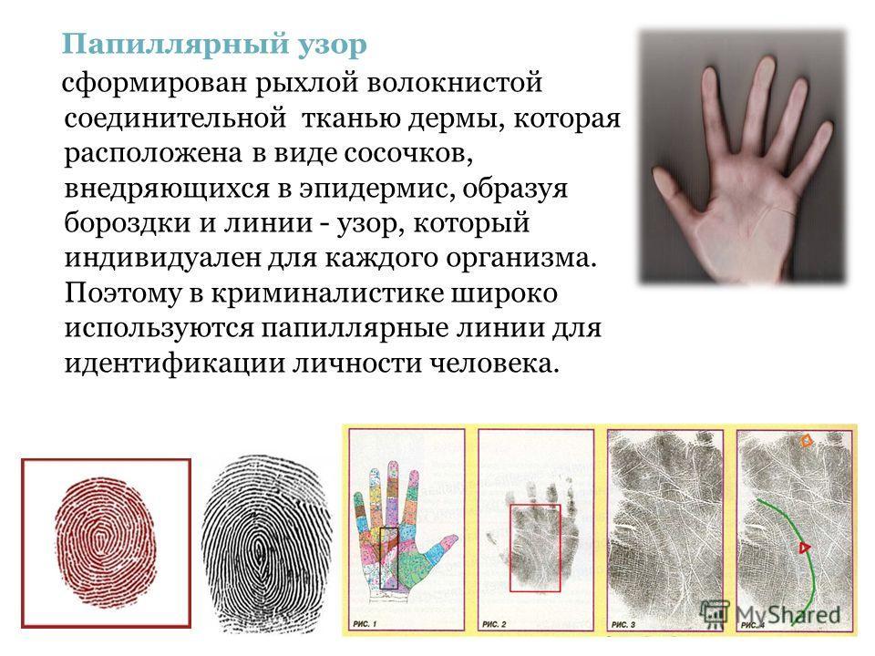 Папиллярный узор сформирован рыхлой волокнистой соединительной тканью дермы, которая расположена в виде сосочков, внедряющихся в эпидермис, образуя бороздки и линии - узор, который индивидуален для каждого организма. Поэтому в криминалистике широко и
