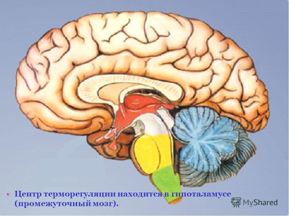 Центр терморегуляции находится в гипоталамусе (промежуточный мозг).