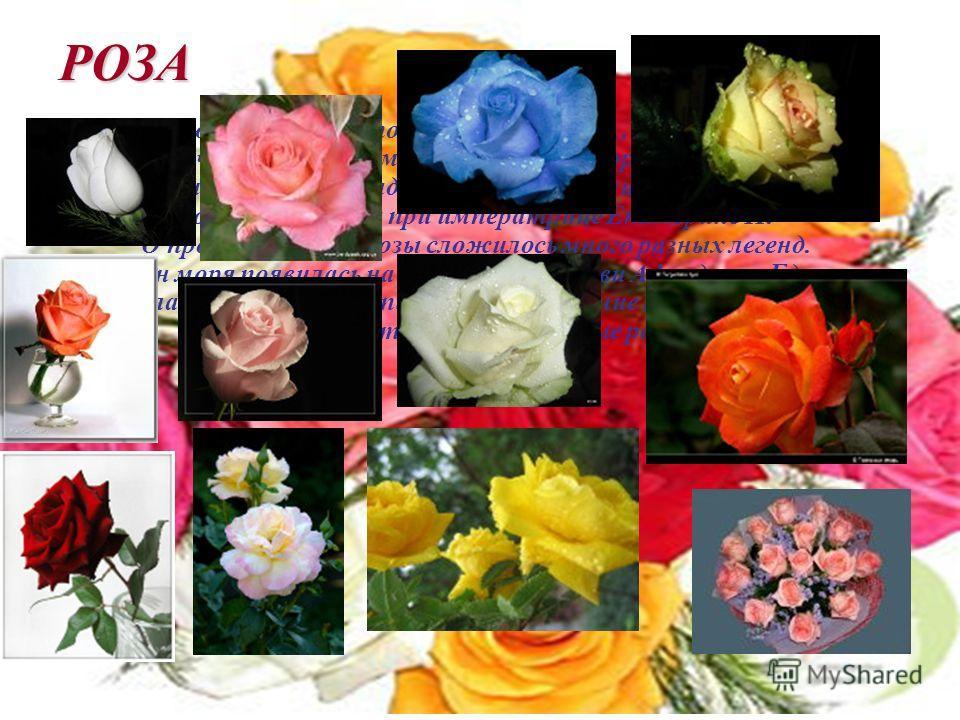 РОЗА В Россию роза впервые попала лишь в XVI в., и в то время была, конечно, достоянием лишь царского двора и некоторых сановников. В наших садах она появилась лишь при Петре I, а популярна стала при императрице Екатерине II. О происхождении розы сло